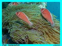 ปลาการ์ตูนอินเดียนแดง.jpg